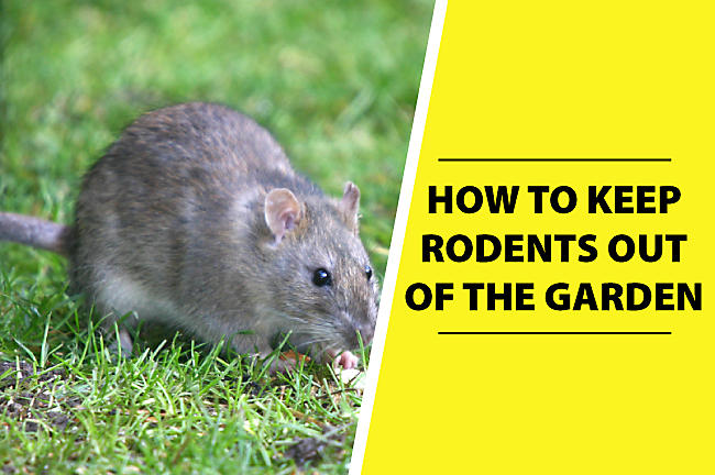 How to keep rodents out of the garden how ccuart Gallery