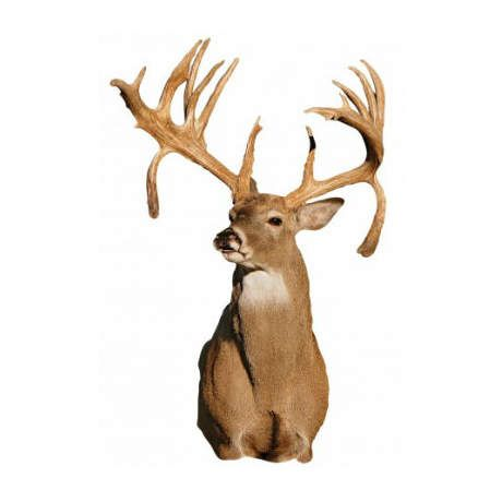 Drop Tine Whitetail