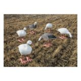 Picture of Big Foot B2 Full-Body Snow/Blue Variety Goose Decoys