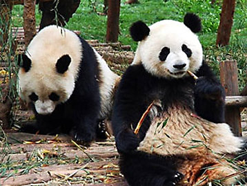 Two panda's at Edinburgh Zoo photograph