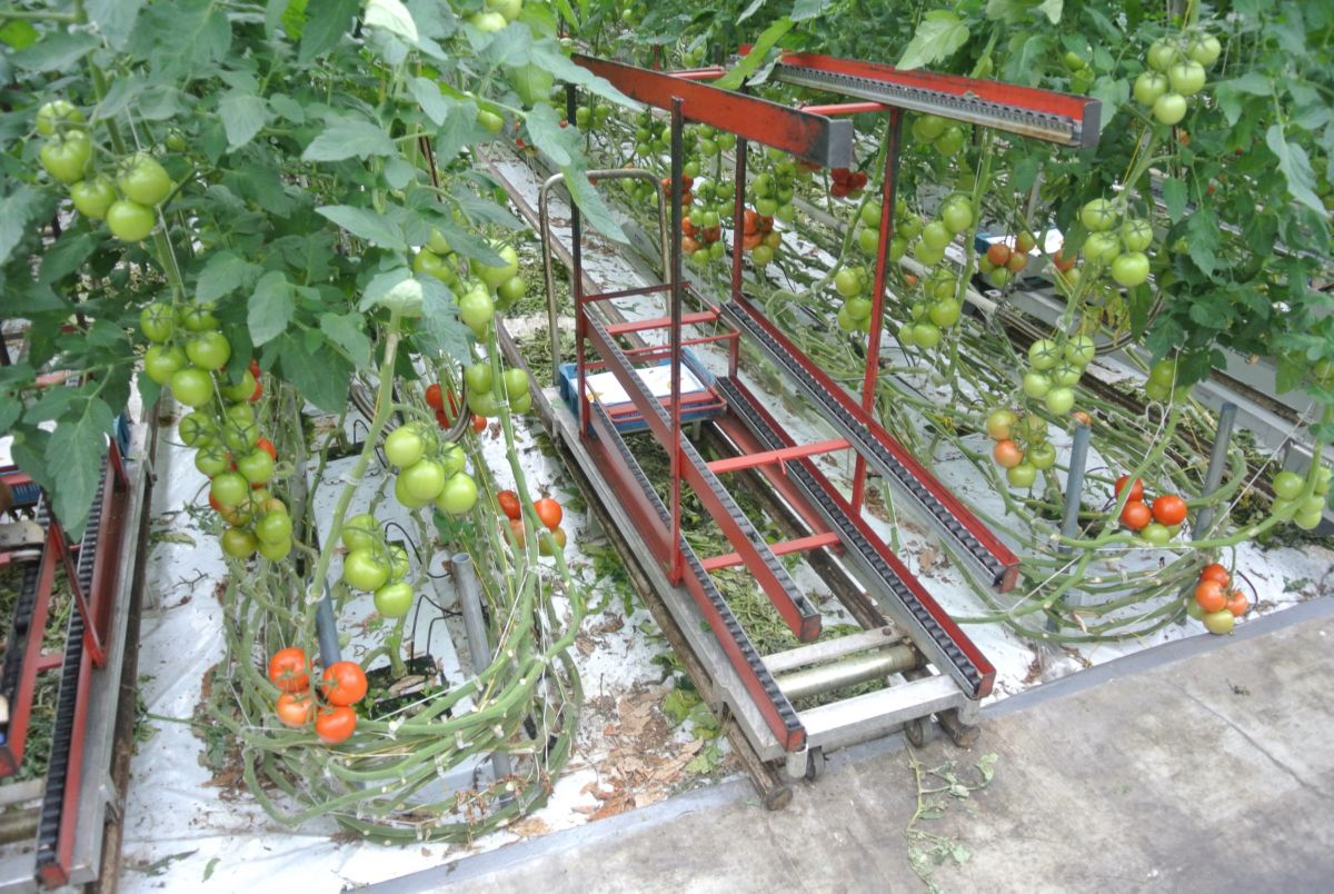 Tomato grower slices energy costs