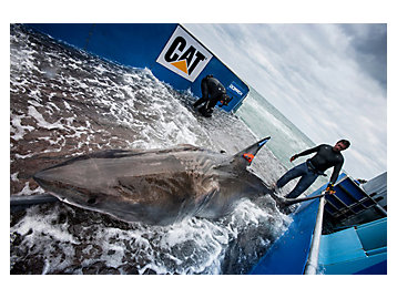 OCEARCH with a shark