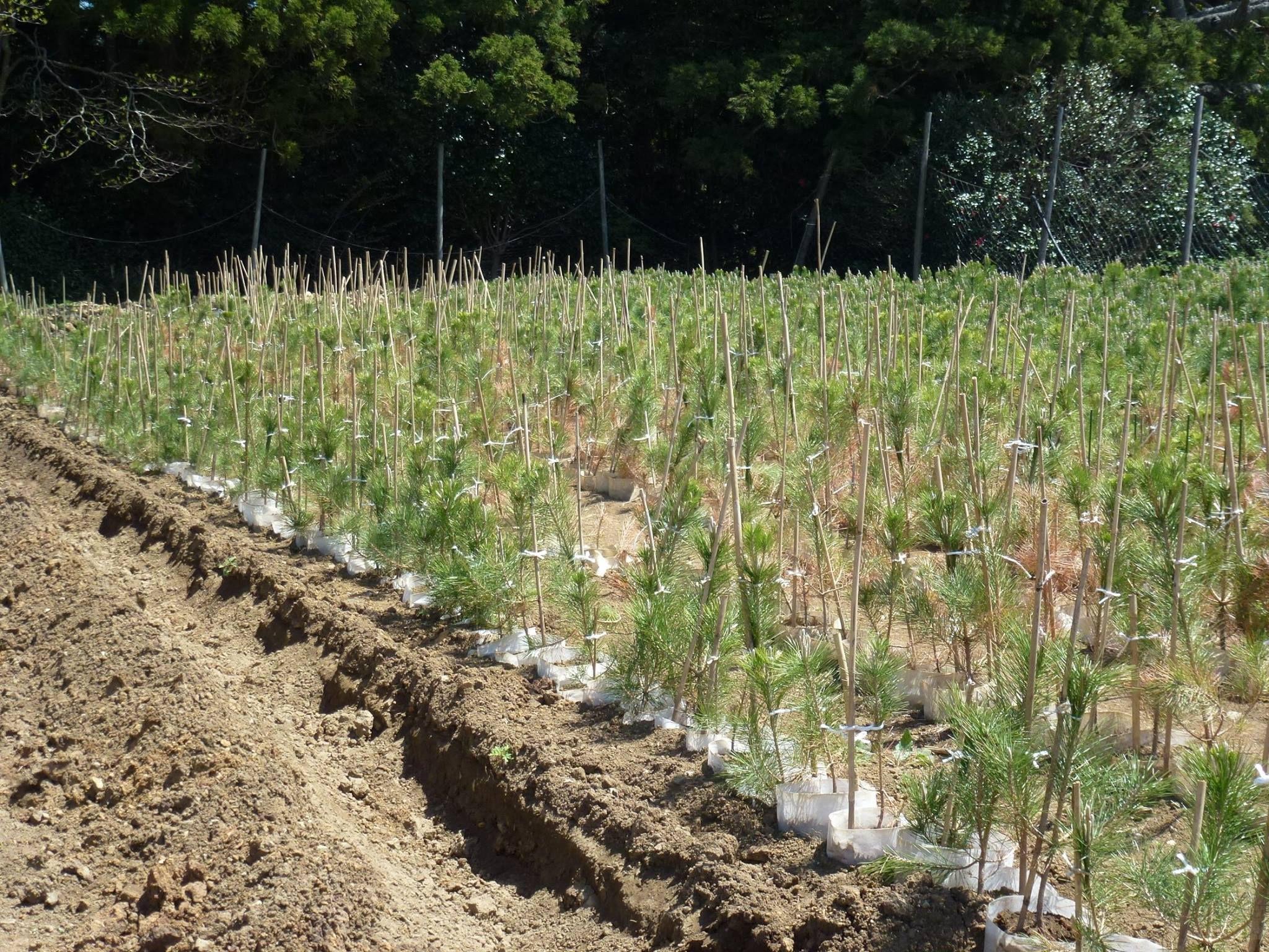 Pine tree saplings in the reclamation of Rikuzentakata, Japan