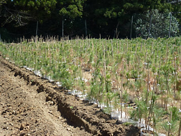 Pine tree saplings in the reclamation of Rikuzentakata, Japan
