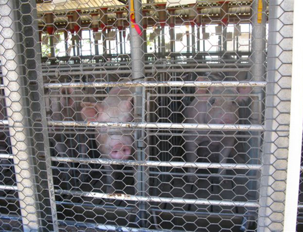 One of Granjas's facilities is a pig farm in Tenextepec, Puebla.
