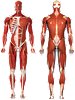 Muscular System - Front and Rear View Decal