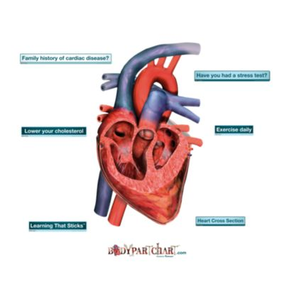 Heart Cross-Section