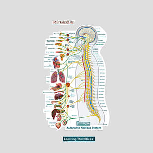 Autonomic Nervous System Lateral – Labeled