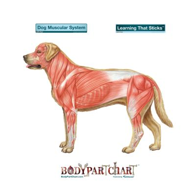 Dog Muscular System