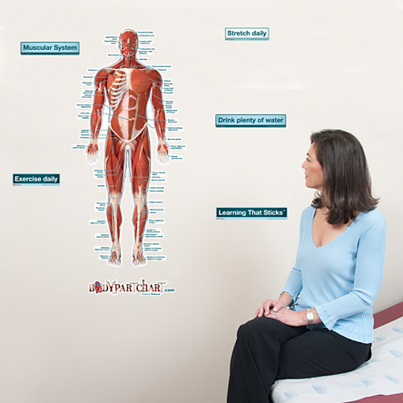 muscular system front labeled bodypartchart official site