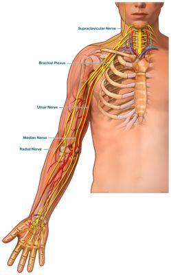 median nerve brachial artery BY DISCIPLINEMedian Nerve Brachial Artery