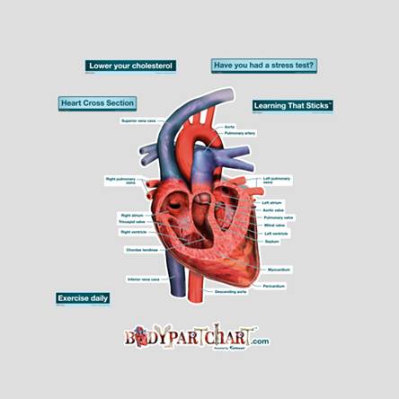 Related Pictures human heart diagram blank