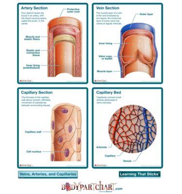 circulatory system veins. the circulatory system veins.