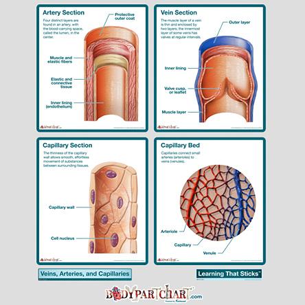 Arteries Capillaries Veins Labeling Biosmithenar40s Soup