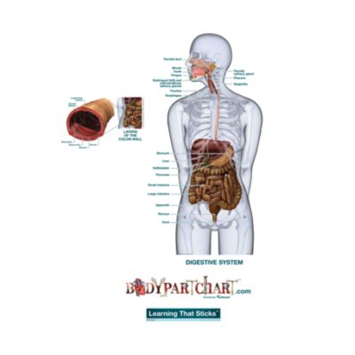 Digestive System - Labeled - Free Extras