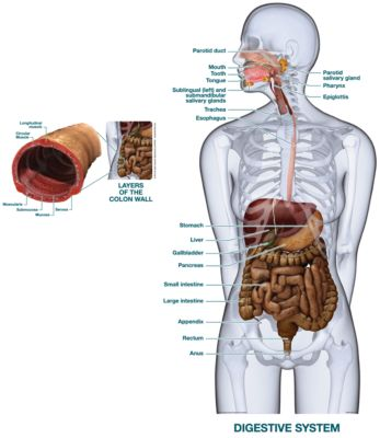 Digestive System - Labeled - Product