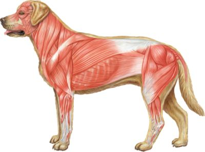 Dog Muscular System - Product