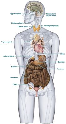 Endocrine System Diagram To Label endocrine system diagr...