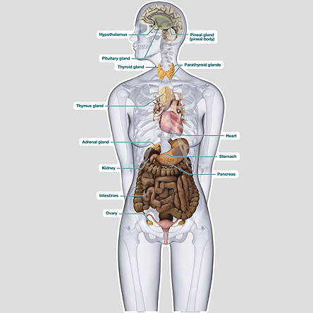 Endocrine System - Labeled - BodyPartChart Official Site