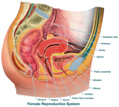 Female Reproductive System - Labeled - Product