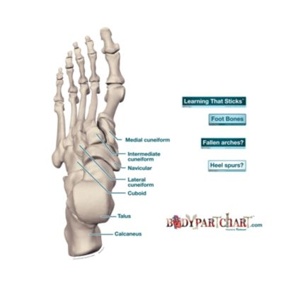 Foot Bones - Labeled - Free Extras