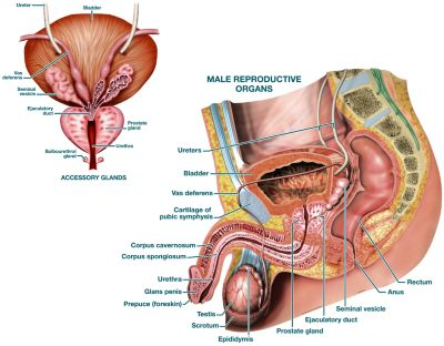 Male Reproductive System - Labeled - Product