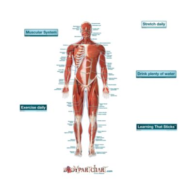 Muscular System Front - Labeled - Free Extras