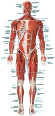 Muscular System Front - Labeled - Product