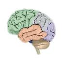 Brain - Lobes