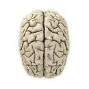 Brain - Top