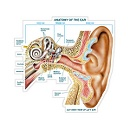 Anatomy of the Ear - Labeled