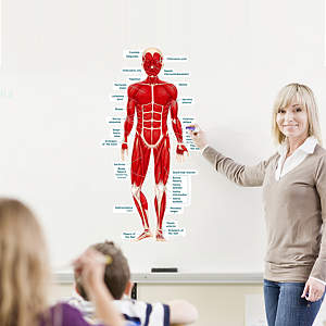 Simplified Muscular System Labeled
