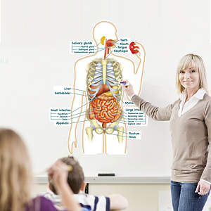 Simplified Digestive System Labeled
