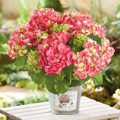 Buy flowering plants gifts - Hydrangea Plant Gift - Harry and David