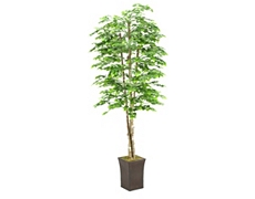 Aspen Spray Tree 8ft