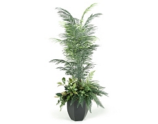 Areca Palm Tree 7ft