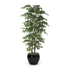 6' Green Ficus Bush, 91670