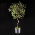 Maidenhair Tree - 7 Ft., 87702