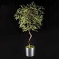 Maidenhair Tree - 7 Ft., 87702