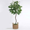 Fig Tree in Basket - 8'H, 82354