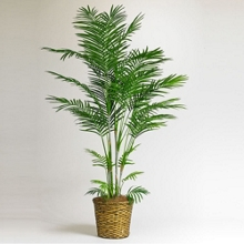 7 Foot Tall Indoor Areca Palm Tree, 87365