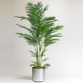Potted Areca Palm Tree - 6 Ft., 87368