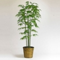 7 Foot Bamboo Tree in Woven Pot, 87369