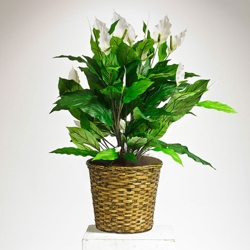 Faux Peace Lily Plant in Woven Pot - 3 Ft.