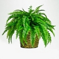 Artificial Fern in Woven Basket - 2 Ft., 87377