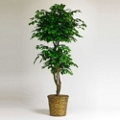 6 Foot Ficus Plant with Woven Basket, 87363