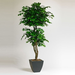 6 Foot Tall Potted Ficus, 87364