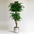 Realistic Indoor Ficus Tree - 7 Ft., 87362