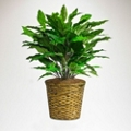 Green Spathiphyllum in Woven Basket - 3 Ft.