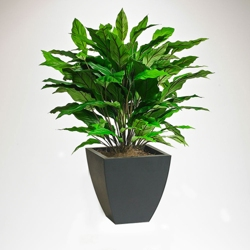 Potted Spathiphyllum - 3 Ft. , 87376